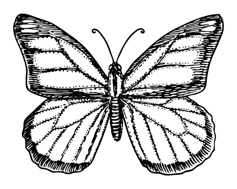 Monarch Butterfly or wild insect. Mystical symbol or entomological of freedom. Engraved hand drawn vintage sketch for vector illustration