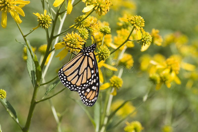 Monarch Butterfly on Wildflowers stock image