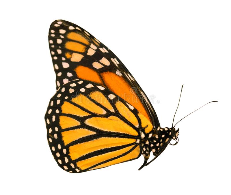 The monarch butterfly with wings closed is isolated on white background stock image