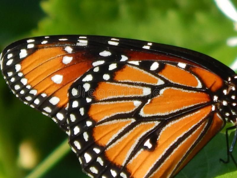 Monarch butterfly wings. Close up of monarch butterfly wings royalty free stock images
