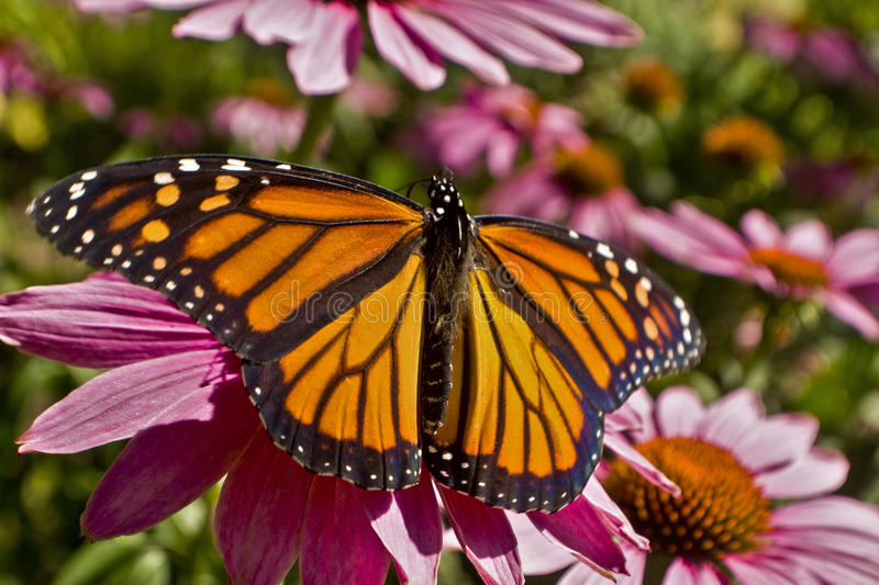 Monarch butterfly wings spread on Echinacea flower close up. Monarch butterfly back of wings spread on Echinacea flower close up royalty free stock photography