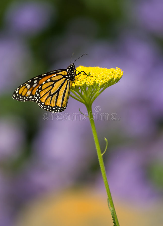 Monarch Butterfly on Yellow Flower royalty free stock photos