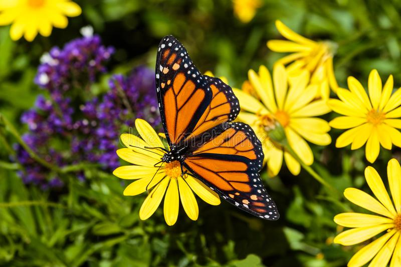 Monarch butterfly on yellow flower; background of yellow and purple flowers, with green foliage. stock images
