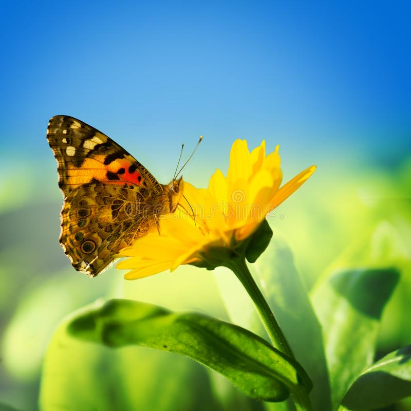 Monarch butterfly on yellow flower royalty free stock photography
