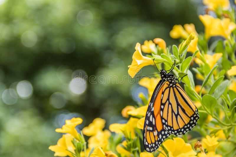Monarch Butterfly on yellow flowers. Monarch Butterfly, Danaus Plexppus, in nature, room for text copy.  Simple amazing nature and beauty stock images