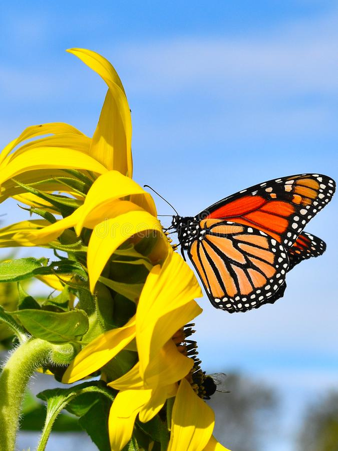 Monarch butterfly in Yellow sunflower on Fall day in Littleton, Massachusetts, Middlesex County, United States. New England Fall. New England fall foliage royalty free stock photography