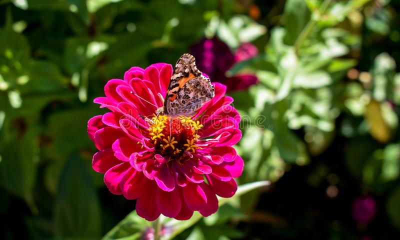 Monarch butterfly on a zinnia royalty free stock photography