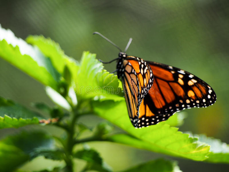 Monarch Butterly op Blad royalty-vrije stock afbeelding