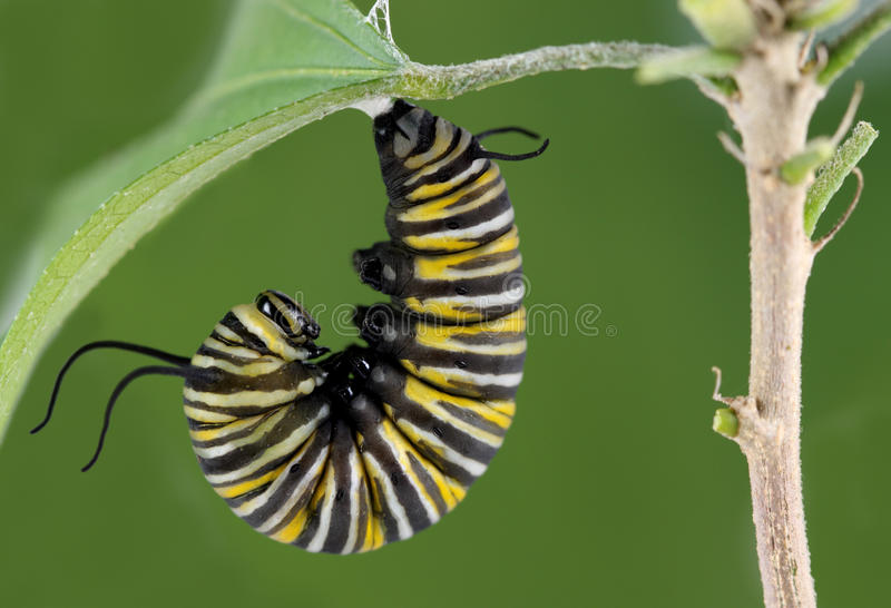 Monarch Caterpillar. A macro shot of a Monarch Butterfly Caterpillar getting set to start forming its cocoon stock photography