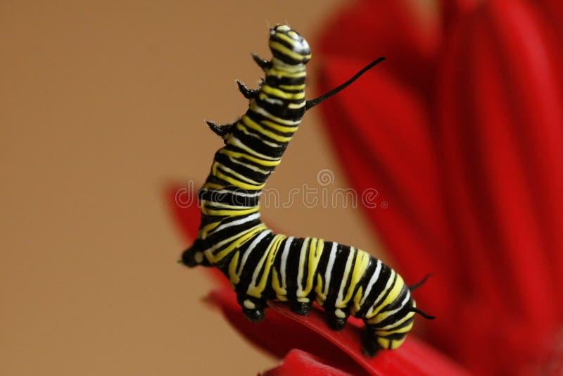 Monarch Caterpillar stock image