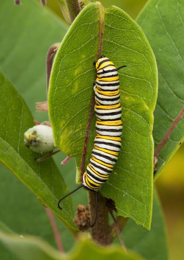 Monarch Caterpillar stockfotos