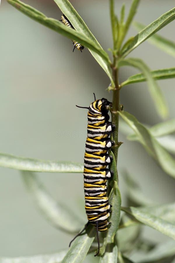 Monarch Caterpillar stockfoto
