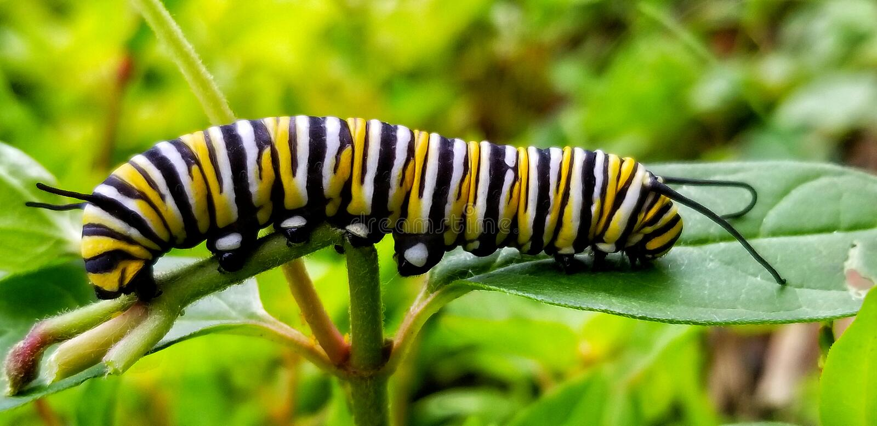 Monarch caterpillar. Macro royalty free stock image