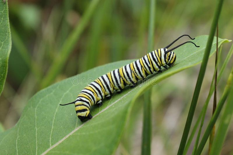 Monarch Caterpillar. On a milkweed leaf stock photo