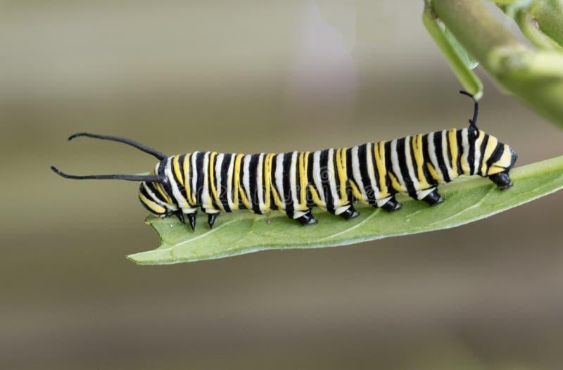 Monarch Caterpillar op Milkweed-Blad stock foto