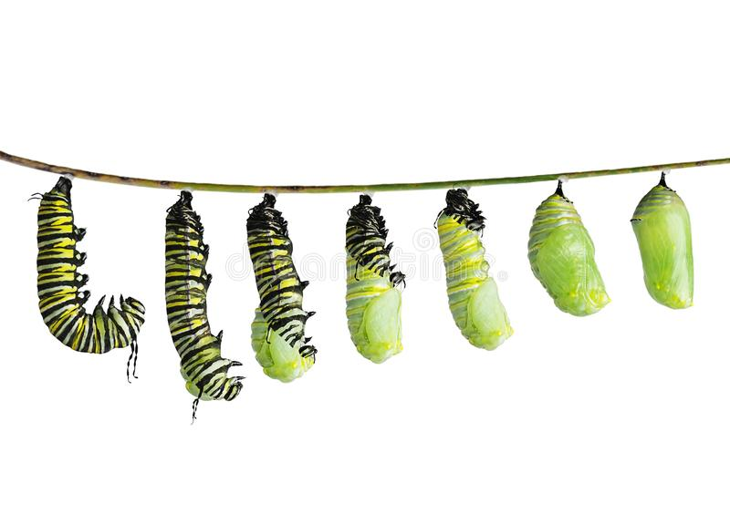 Monarch caterpillar in various stages isolated on white. Monarch caterpillar in various stages of shedding until the skin falls away and a chrysalis to take royalty free stock image