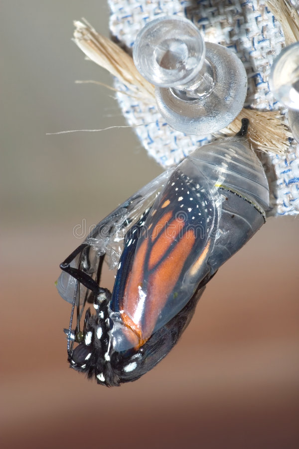 Free Monarch Chrysalis Royalty Free Stock Images - 8191909