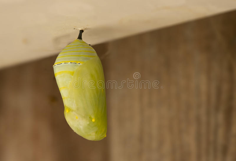 Monarch Chrysalis. A closeup image of the chrysalis of a Monarch Butterfly royalty free stock photo