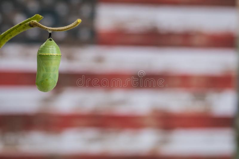 Monarch Chrysalis on Milkweed stem American Flag background. Monarch Chrysalis, Danaus Plexppus, on Milkweed stem room for text copy.  Simple amazing nature and royalty free stock images