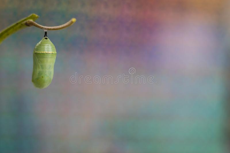 Monarch Chrysalis on Milkweed stem cool purple tones background. Monarch Chrysalis, Danaus Plexppus, on Milkweed stem room for text copy.  Simple amazing nature stock photography