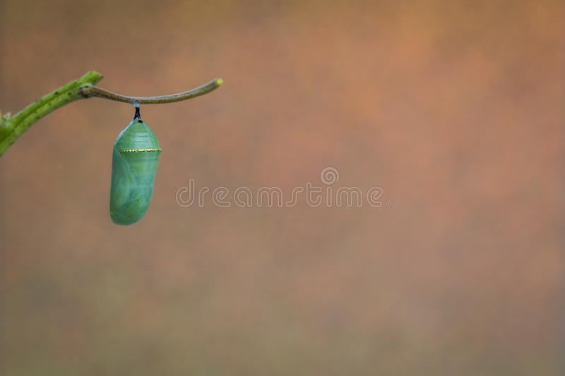 Monarch Chrysalis on Milkweed stem warm gold tones background. Monarch Chrysalis, Danaus Plexppus, on Milkweed stem room for text copy.  Simple amazing nature stock photos