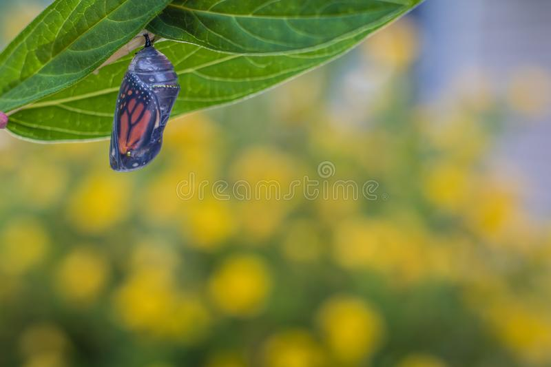 Monarch Chrysalis on Milkweed stem yellow flowers in background. Monarch Chrysalis, Danaus Plexppus, on Milkweed stem room for text copy.  Simple amazing nature royalty free stock images