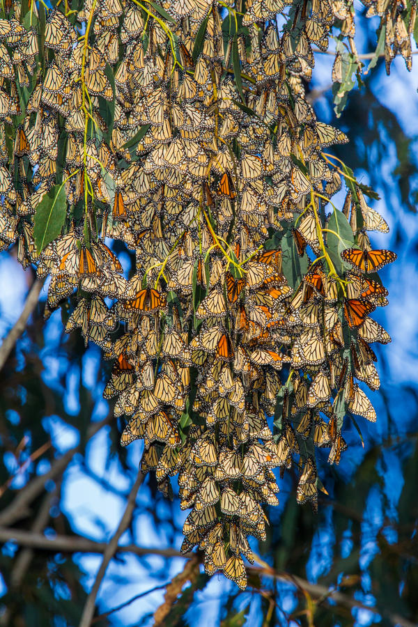 Monarch Cluster royalty free stock image