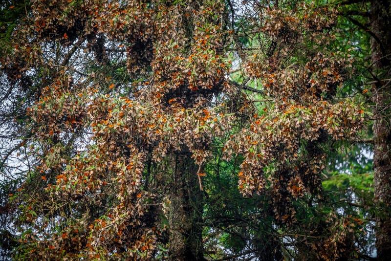 Monarch colony. In the wild stock photo