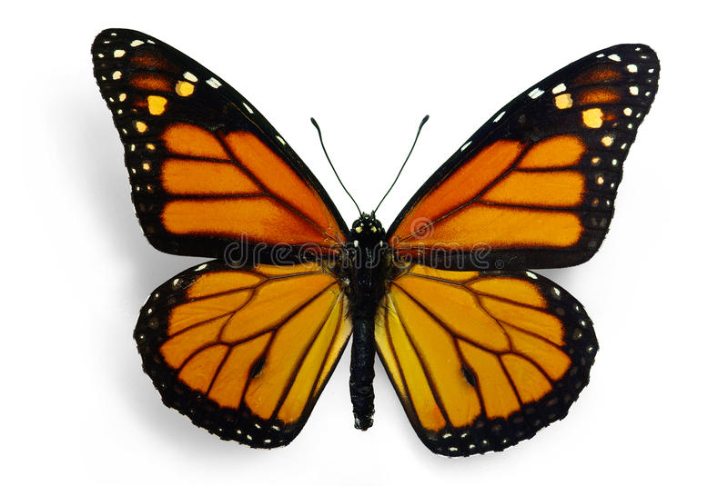 Monarch (Danaus plexippus). A migrant butterfly, isolated on white stock photos