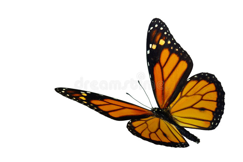 Monarch (Danaus plexippus). A migrant butterfly stock image