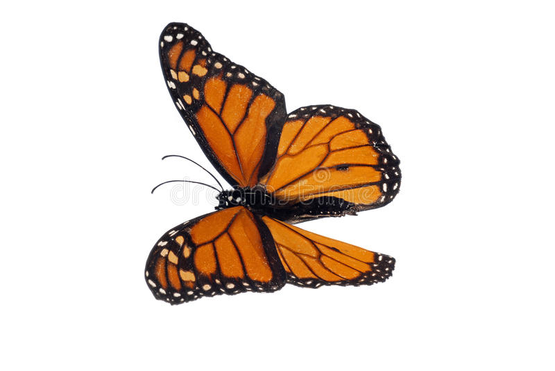 Monarch (Danaus plexippus). Isolated on white royalty free stock image