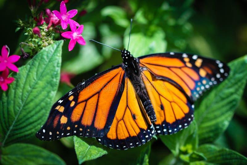 Monarch Danaus Plexippus stock photo