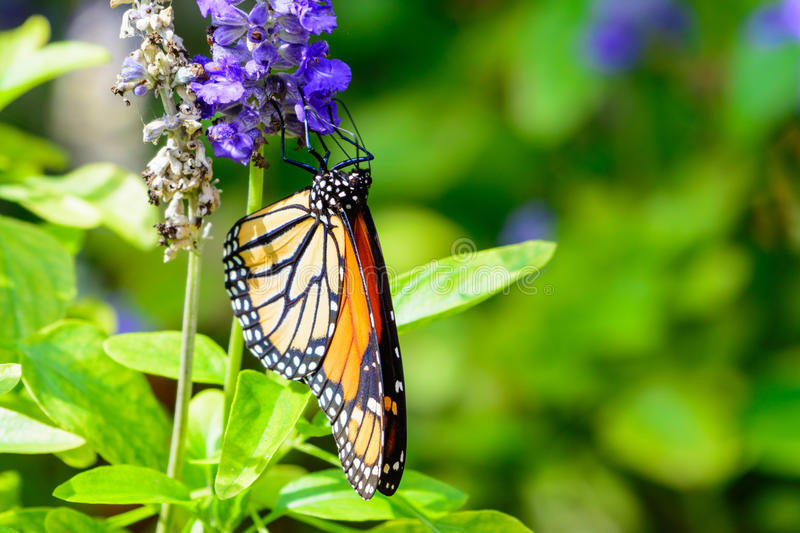 Monarch (Danaus plexippus) In the sunshine royalty free stock photo