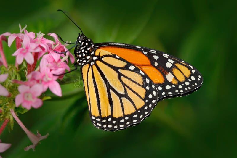 Monarch, Danaus-plexippus, vlinder in aardhabitat Het insect van Nice van Mexico Vlinder in de groene bosvlinderzitting stock afbeelding