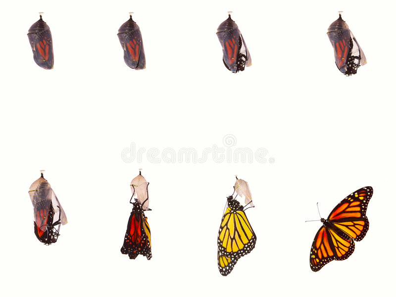 Monarch Emerging royalty free stock photo