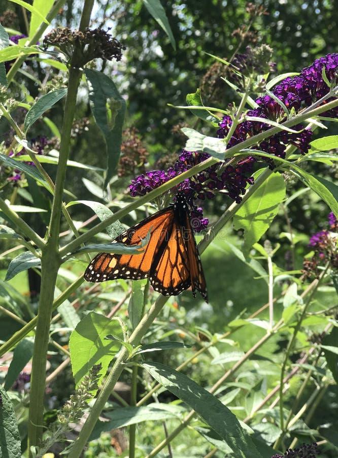 Monarch feasting on butterfly bush. Orange Monarch butterfly drinking nectar from purple butterfly bush flowers stock image