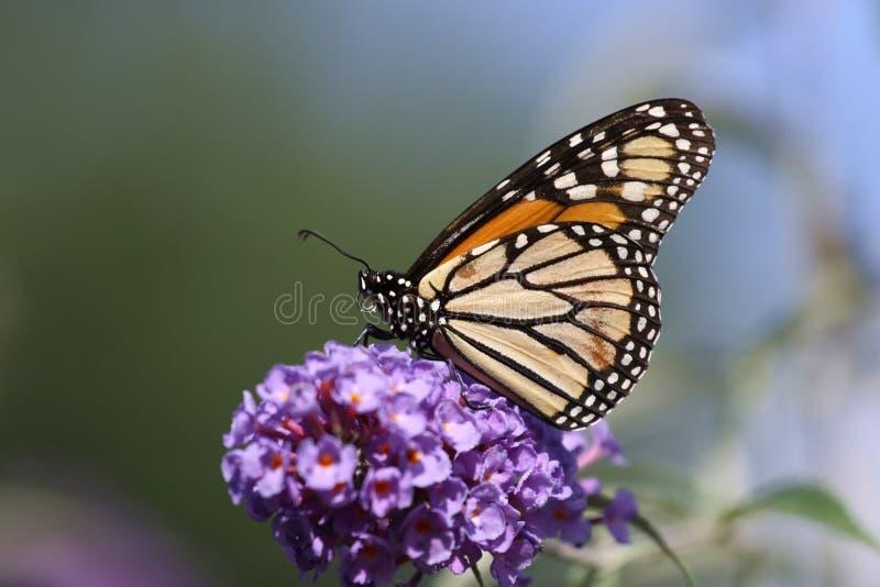 Monarch feeding. royalty free stock image