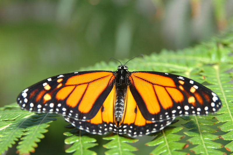 Monarch on a fern royalty free stock image