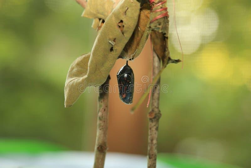 Monarch gestalten transparente Puppe um lizenzfreies stockfoto