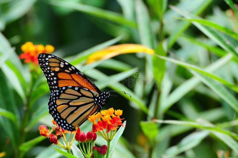 Monarch on Milkweed stock photo