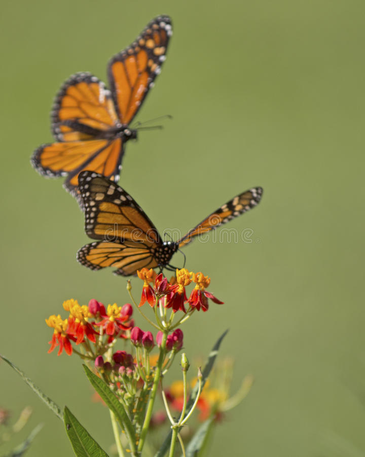 Monarch Milkweed. A Monarch butterfly sipping milkweed nectar being attacked by another Monarch butterfly stock image