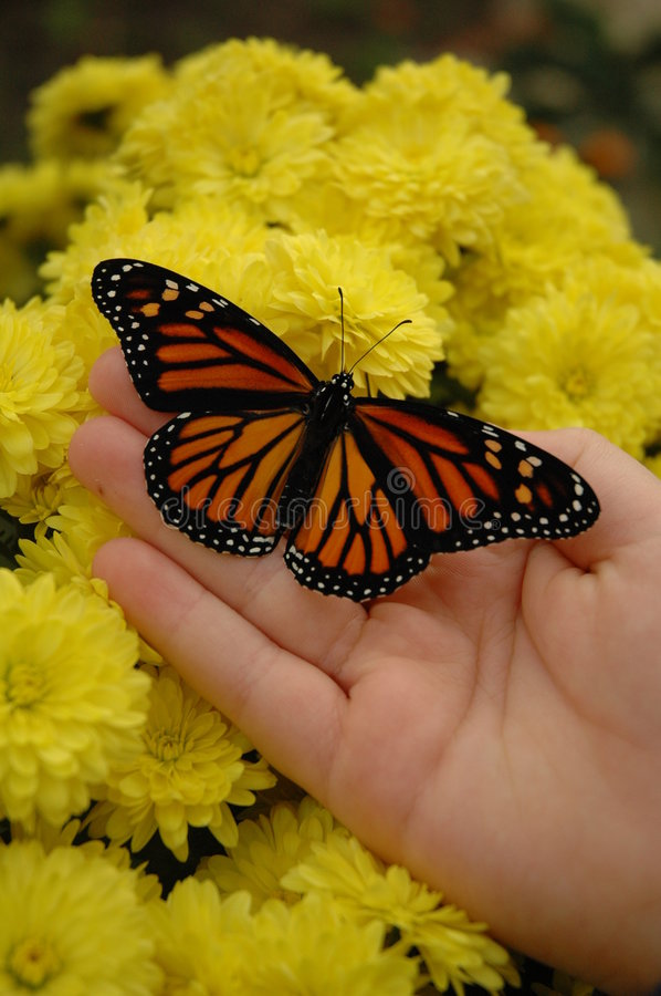 Download Monarch & Mums stock photo. Image of flower, yellow, fingers - 2933288