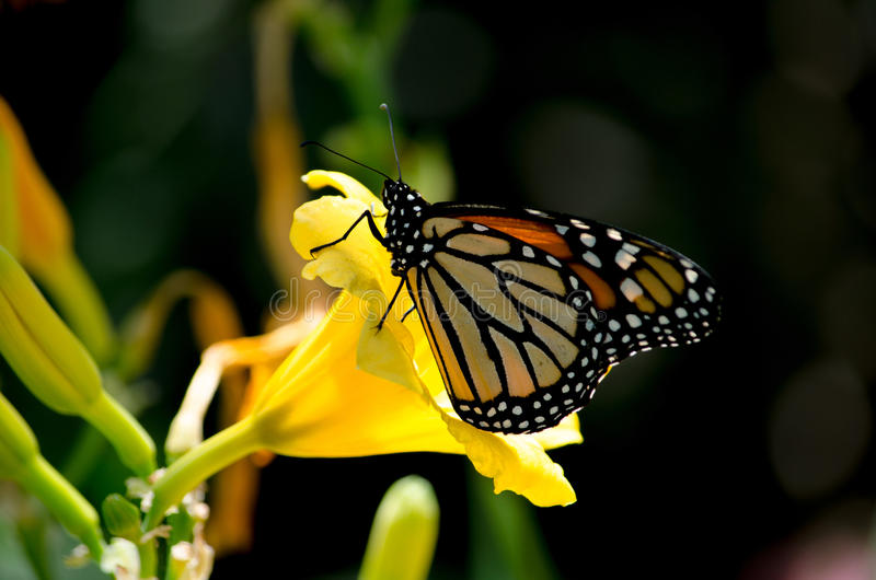 Monarch And Nectar Stock Images
