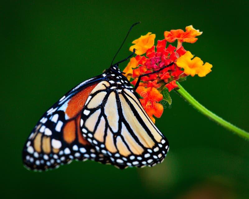 Monarch Nectaring royalty-vrije stock foto