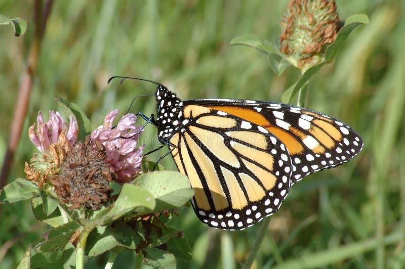 Monarch op lavendelbloem royalty-vrije stock foto