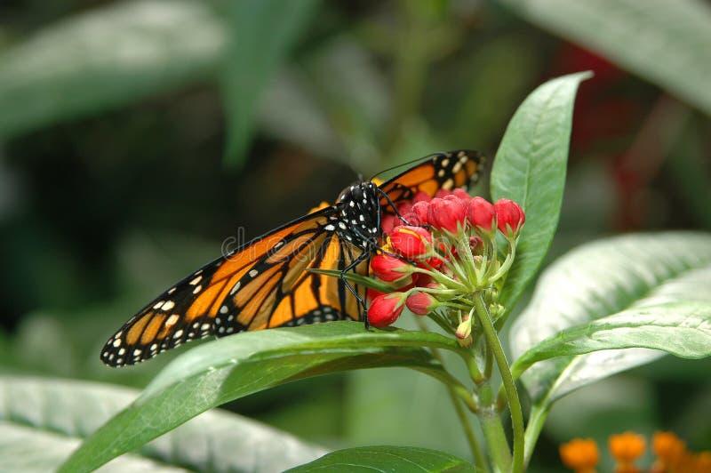 Monarch op rode bloemen stock foto