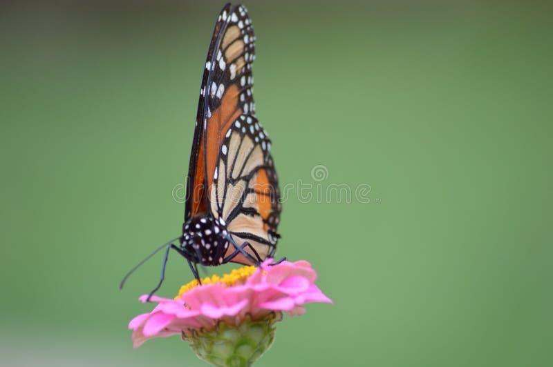 Monarch op Zinnia royalty-vrije stock foto's