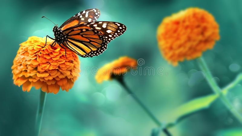 Monarch orange butterfly and  bright summer flowers on a background of blue foliage in a fairy garden. Macro artistic image. Monarch orange butterfly and royalty free stock photography