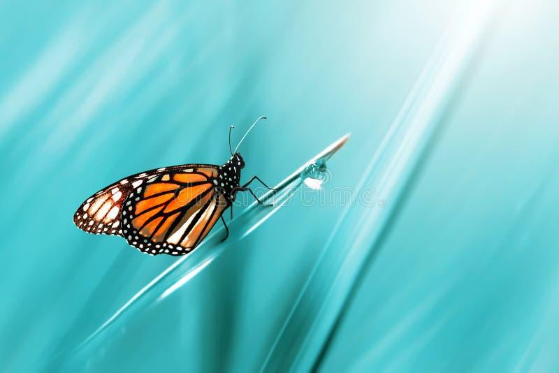 Monarch oranje mooie vlinder tegen de achtergrond van fantastisch blauw gras met een daling van dauw De kunstachtergrond van de d stock foto's