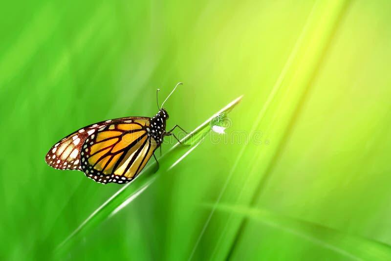 Monarch oranje mooie vlinder tegen de achtergrond van fantastisch groen gras met een daling van dauw stock foto